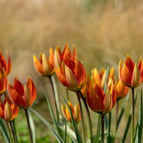 Tulips in Berggarten Hannover (April 2019)