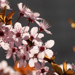 Baumblüten im Frühling (2020-03-22)