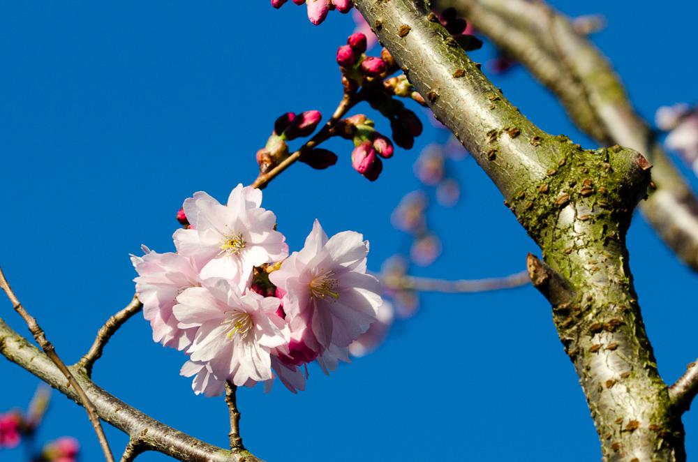 Appel tree blossom