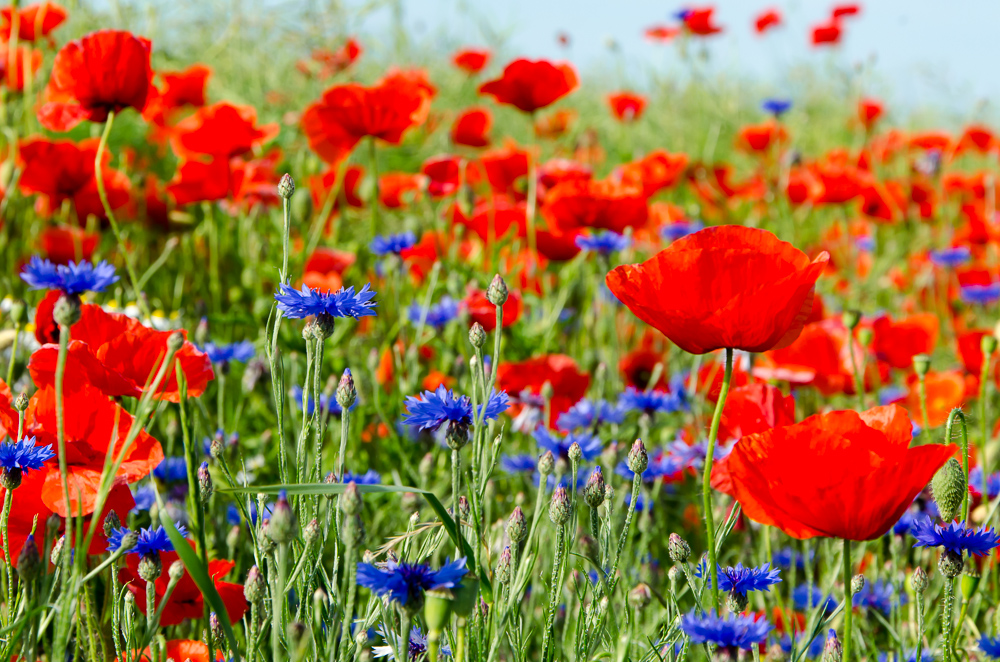 Poppy flowers (Mohnblumen)
