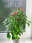 web.chilies_202.jpg