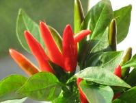 web.chilies_207.jpg