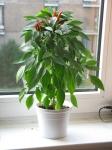 web.chilies_211.jpg