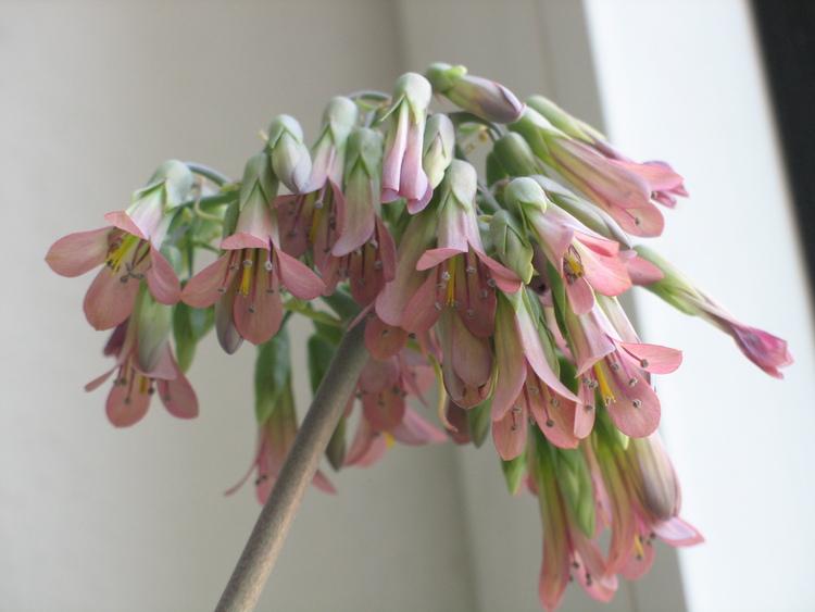 Brutblatt Blüten